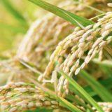 ビタミンB1(チアミン)が豊富な食品ランキング上位100品目を公開:豚肉以外にも穀類に豊富です。